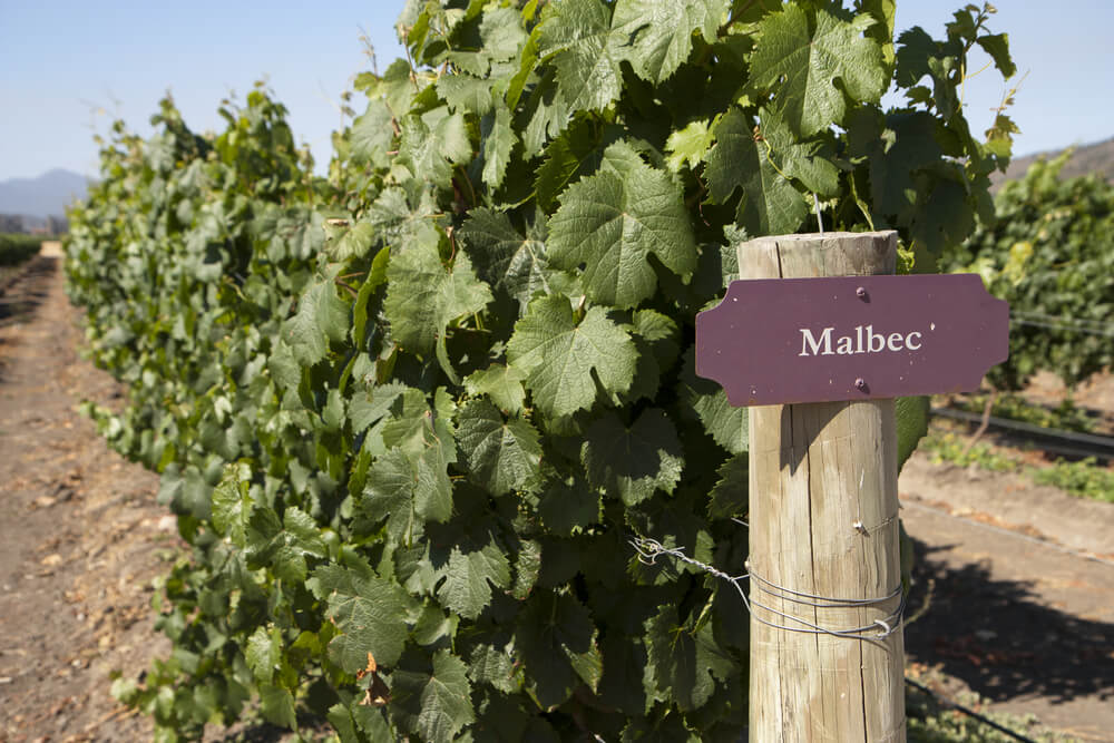 Grapes in vine with a 'Malbec' sign